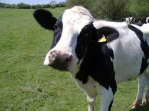 confused-cow
